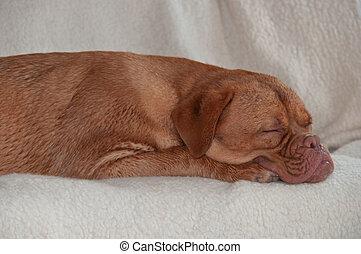 grande, cane addormentato, divano