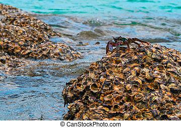 grande, cangrejo, encima de, un, barrera coralina, alto, tide.