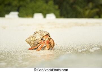 grande, cangrejo, ermitaño