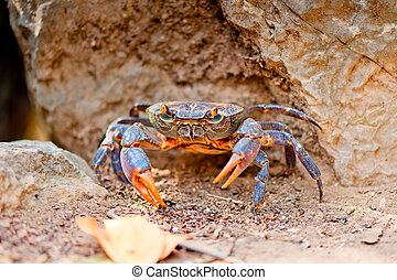 grande, carangueijo, praia, entre, pedras