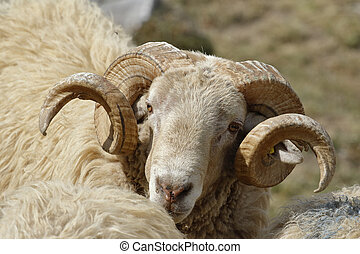 grande, chifres, sheep