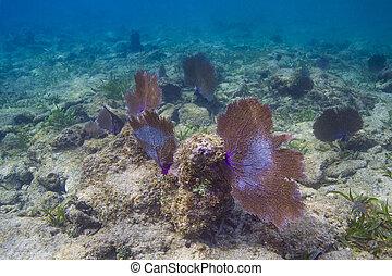grande, coral, ventilador