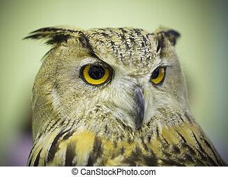 grande coruja horned, olhar fixamente, com, dourado, olhos