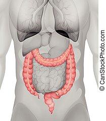 grande, cuerpo, intestino, humano