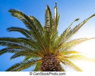 grande, dossel, de, um, árvore palma, com, brilhar sol, luminoso, através, aquilo