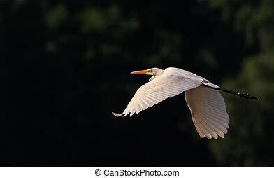 grande, egret(ardea, alba), vôo
