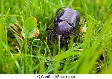 grande, escarabajo