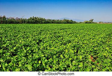 grande, feijão, plantação