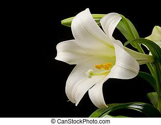 grande, fiore, giglio
