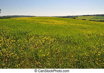 grande, fiori, campo giallo
