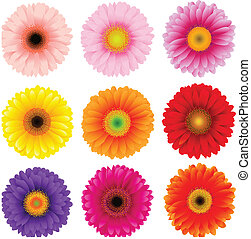grande, flores, conjunto, colorido, gerbers