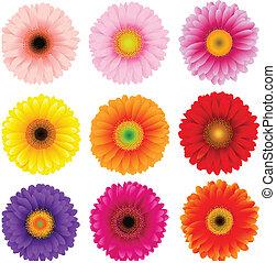 grande, flores, jogo, coloridos, gerbers