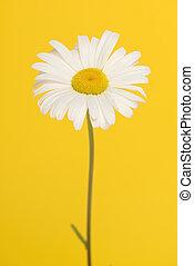 grande, florescer, amarela, caule, fundo, margarida, branca