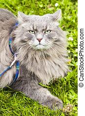 grande, gato gris, pelo largo