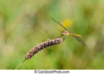 grande, giallo, libellula, sympetrum, vulgatum, seduto, su, uno, asciutto, lama erba