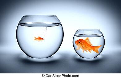 grande, goldfish, en, un, pequeño, acuario
