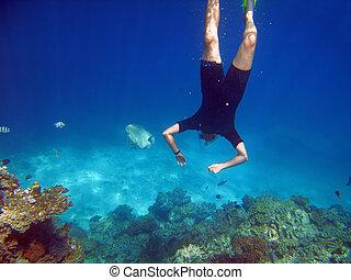grande, hacia, barrera, pez, snorkeler, arrecife, nada