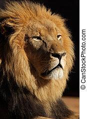 grande, leão, macho, africano