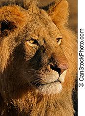 grande, leão masculino, 11