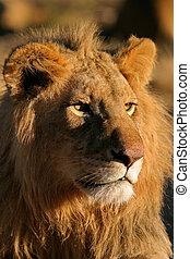 grande, leão masculino