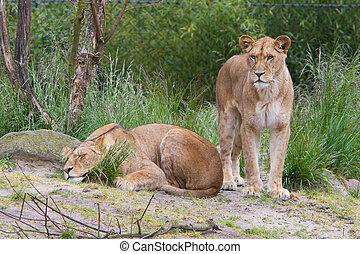 grande, leona, en, verde, ambiente