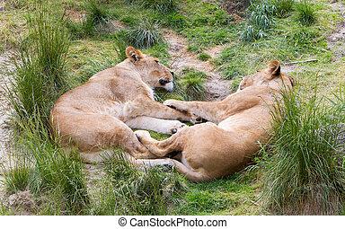 grande, leones, en, verde, ambiente