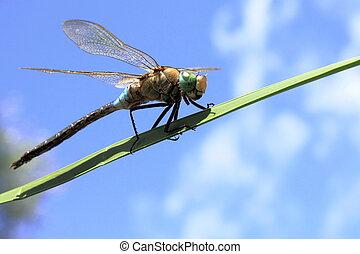 grande, libélula