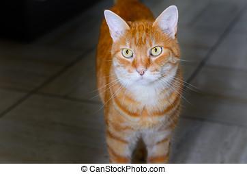 grande, listrado, gato gengibre, com, dourado, olhos