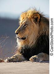 grande, macho, león africano