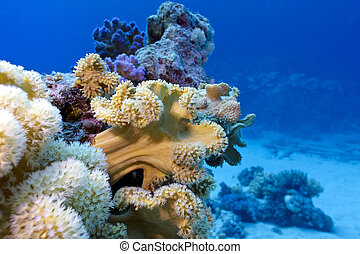 grande, mar, fondo, barrera coralina, suave, rojo
