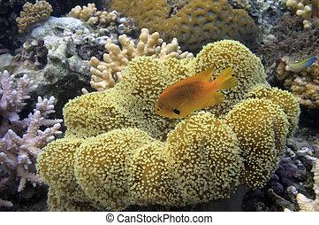 grande, mar, fondo, coral, amarillo, arrecife, suave, rojo