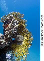 grande, mar, fondo, coral de fuego, arrecife, rojo