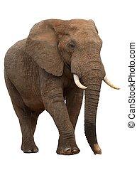 grande, maschio, elefante africano, isolato, bianco