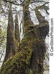 grande, musgo, árbol viejo