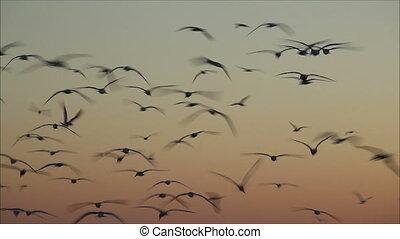 grande, número, de, gaivotas, voando, contra, a, noite, céu,...