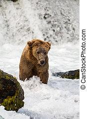 grande, oso de alaska, marrón