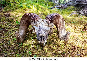 grande pecora corno, cranio
