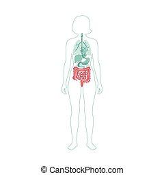 grande, pequeno, vetorial, intestino, ilustração