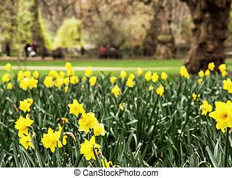 grande, primavera, amarela,  james's, parque, Inglaterra, narcisos silvestres, são, Londres