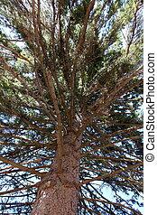 grande, ramos, de, alto, árvore pinho