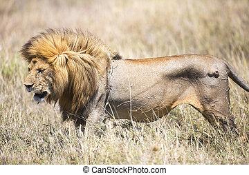 grande, selvagem, leão masculino, em, serengeti