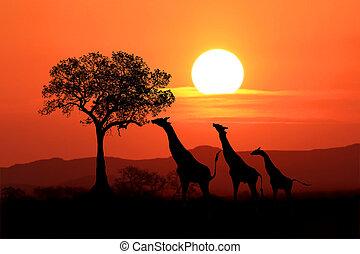 grande, sudafricano, jirafas, en, ocaso, en, áfrica
