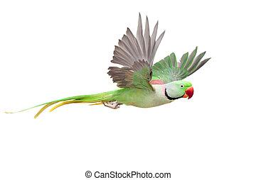 grande, verde, inanellato, o, alexandrine, parakeet, bianco