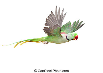 grande, verde, ringed, ou, alexandrine, parakeet, branco