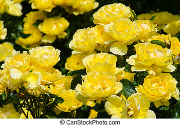 grandes fleurs, groupe, jaune