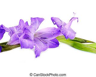 grandiflorus), glaïeul, pourpre, arrière-plan., (gladiolus, fleurs blanches