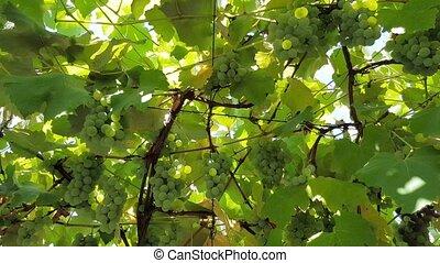 grandir, buisson, raisins verts