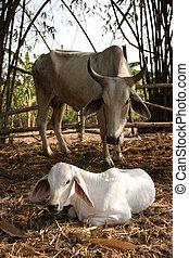 granja,  animal, vaca