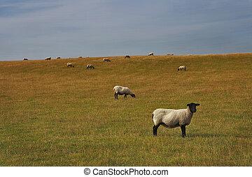 granja, animals:, sheep, pasto, en, un, encantador, pasto verde