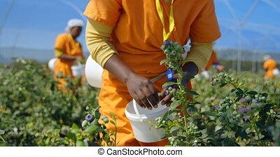 granja, arándanos, arándano, escoger, trabajador, 4k